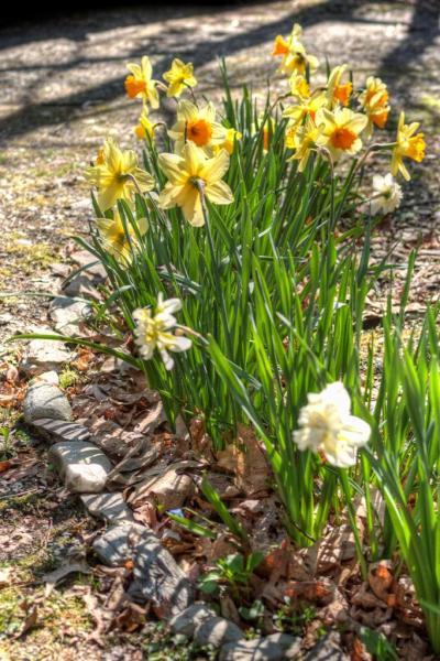 Spring-Daffs