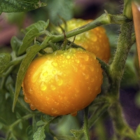 Solanum-Lycopersicum