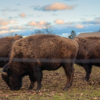 Riverhead Bison