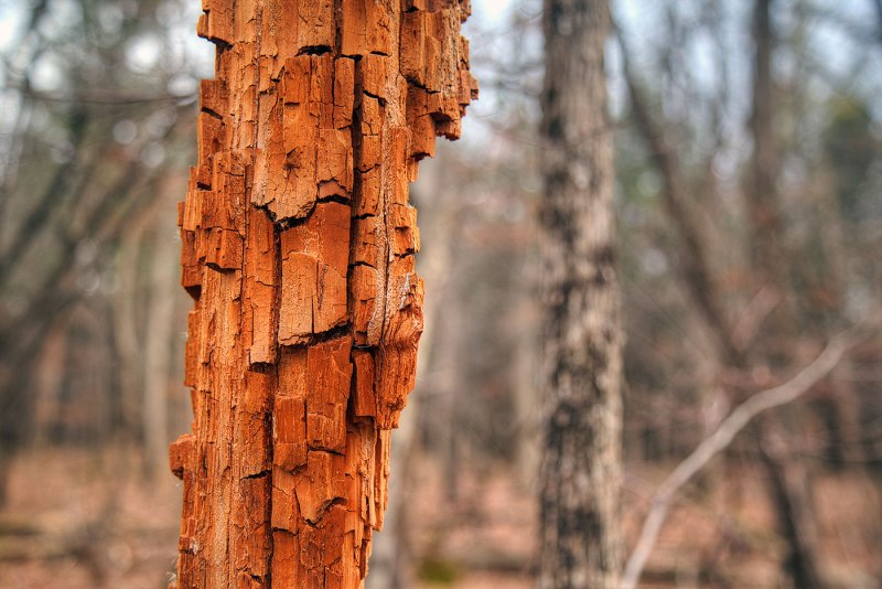 Destitute of Bark