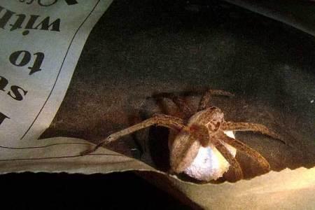 Vern's-Pet-Spider