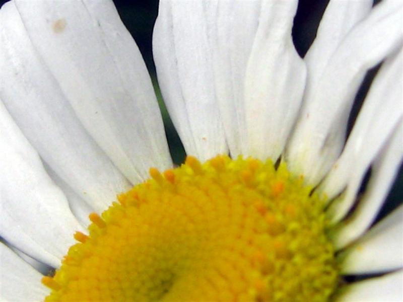A Bellis Daisy