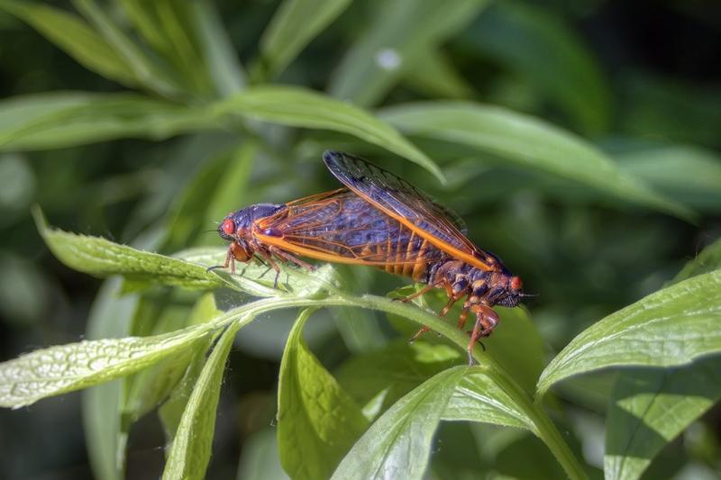 Cicada-Sex-Scene