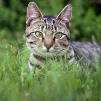 6th-Felis-Catus