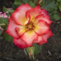 Rose of Schenectady