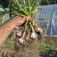 A Fistful of Garlic