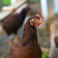 Chicken Check In