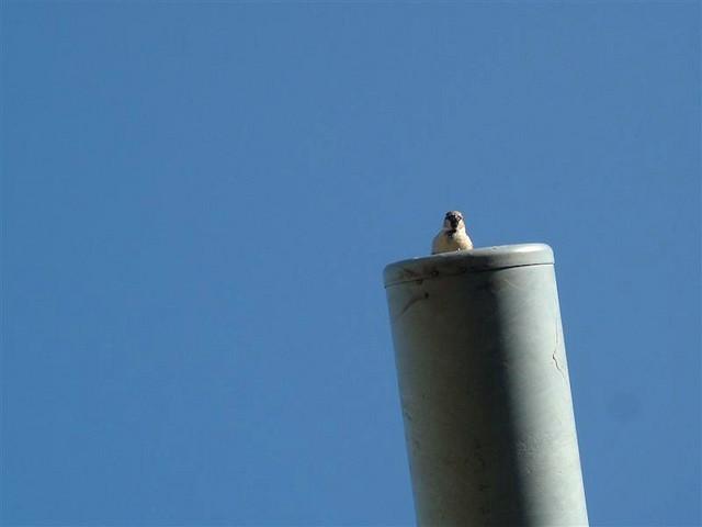 Sparrow-Escape