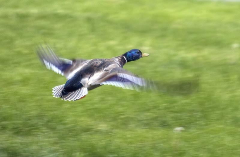 Mr-Duck