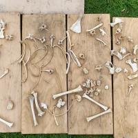 Fawn Skeleton